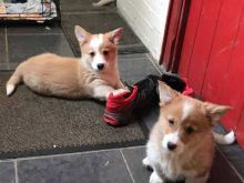 Excellence lovely Male and Female Corgi Puppies for adoption