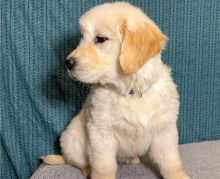 Gorgeous Golden Retriever Puppies Male and Female For Adoption