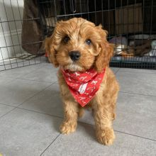 Perfect lovely Male and Female Cavapoo Puppies for adoption