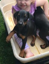 Perfect lovely Male and Female Doberman Puppies for adoption