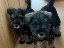 Wonderful lovely Male and Female Schnauzer Puppies for adoption