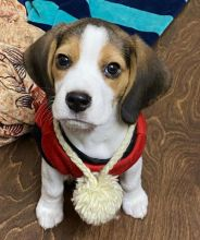 Cute Lovely Beagle Puppies male and female for adoption