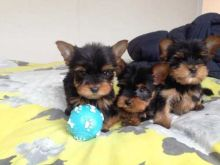 Inviting Likable Lovable Yorke Puppies For a Loving Family
