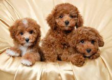 Beautiful Maltipoo puppies Available Image eClassifieds4u 1
