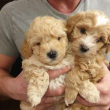 Amazing Maltipoo Puppies ready for their new home