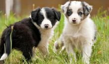Border Collie puppies available,very healthy and updated on vaccines.