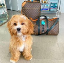 Cute Lovely cavapoo Puppies male and female for adoption