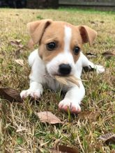 Jack Russell puppies available, up to date on vaccinations and well socialized.