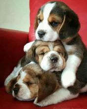 Outstanding Beagle puppies ready for re homing