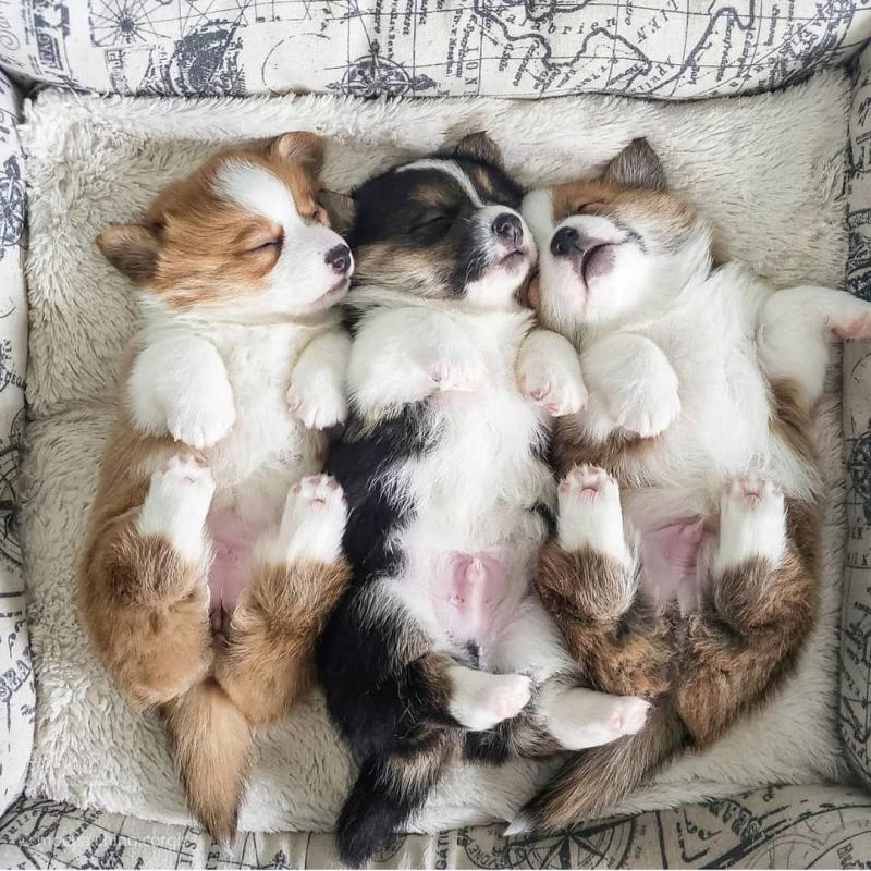 Outstanding Pembroke Welsh Corgi puppies ready for re homing Image eClassifieds4u