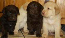 Cute Labrador Retriever puppies Available Image eClassifieds4U