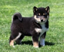 Shiba Inu puppies available, updated on shots . flea treated and dewormed.