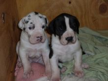Great Dane puppies available, vaccinated /dewormed and flea treated,very healthy and friendly. Image eClassifieds4u 2