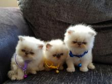 Beautiful Silver Tipped Persian Chinchilla Kittens Available (babydullface@outlook.com)