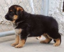 German Shepherd puppies available for adoption. Updated on Vaccines, very healthy.