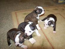Boston Terrier puppies available,vaccinated , de-wormed, flea treated and potty trained.