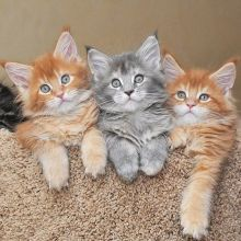 Healthy Maine coon kittens available for adoption. Updated on vaccinations and dewormed. Image eClassifieds4U