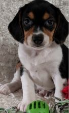 C.K.C MALE AND FEMALE BEAGLE PUPPIES