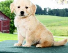 C.K.C MALE AND FEMALE GOLDEN RETRIEVER PUPPIES AVAILABLE