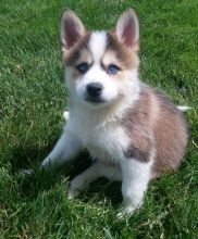 C.K.C MALE AND FEMALE🎄 Pomsky PUPPIES AVAILABLE