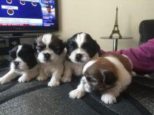 Beautiful Purebred Shih Tzu puppies Email me through >>> gonzalezvldmr@gmail.com