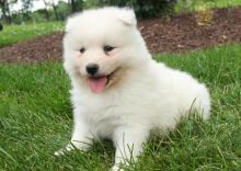 C.K.C MALE AND FEMALE SAMOYED PUPPIES AVAILABLE