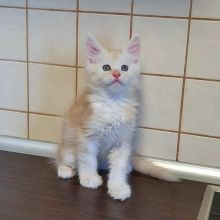 well trained and vet checked Maine Coon kittens available.