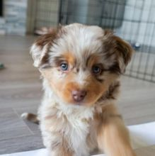 Australian Sheppard puppies, male and female for adoption