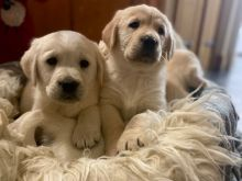 Beautiful and Healthy Golden Retriever Puppies available!!