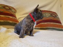 Cute and Healthy French Bulldog Puppies Available