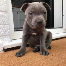 EXCELLENT ASTOUNDING BLUE NOSE PITBULL PUPPIES FOR GREAT HOMES