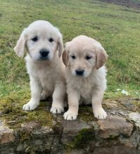Home-Raised Golden Retriever Puppies available