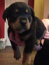male and female Rottweiler puppies contact us at kb4746965@gmail.com