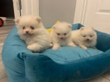 OUTSTANDING MINI POMERANIAN PUPPIES AVAILABLE FOR GOOD HOMES