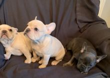 Purebred Healthy French Bulldog Puppies ready to go