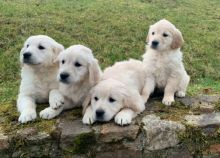 Splendid Golden Retriever Puppies available for rehoming