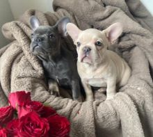 Sweet and Healthy French Bulldog puppies ready to go!