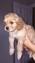 male and female CAVAPOO puppies contact us at kb4746965@gmail.com