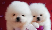 Beautiful Pomeranian puppies available for adoption.
