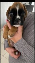 Fantastic BOXER Puppies Male and Female contact us at oj557391@gmail.com