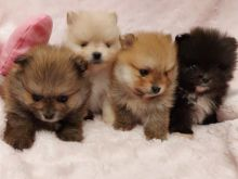 LOVELY AND HEALTHY MINI POMERANIAN PUPPIES READY FOR REHOMIN GOOD HOMES