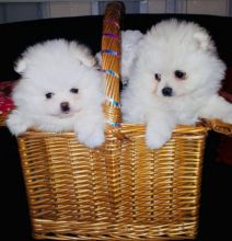 Lovely Miniature Pomeranian Puppies for rehoming