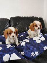 12 weeks old Cavalier King Charles Spaniel puppies for sale Email us at jl245289@gmail.com Image eClassifieds4U