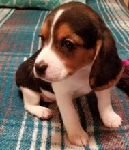 Georgeous Beagle Puppies Male and Female For Adoption