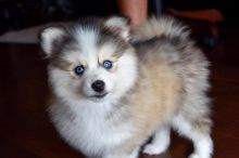 Georgeous Pomsky Puppies Male and Female For Adoption