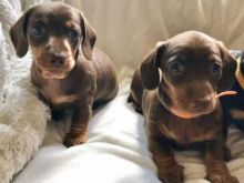 Incredible Dachshund Puppies Male and Female for adoption