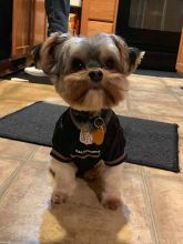 Incredible Morkie Puppies Male and Female for adoption