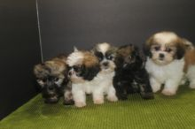 OUTSTANDING PUREBRED SHIH TZU PUPPIES FOR REHOMING!!@
