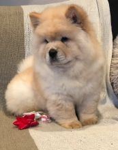 Pleasurable Chow Chow Puppies Male and Female For Adoption