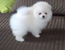 Pleasurable Pomeranian Puppies Male and Female For Adoption